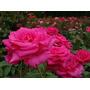 Rosas Rosauer 5 Litros!