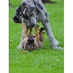 Ultimos 2 Cachorros Gran Danes.excelentes!!