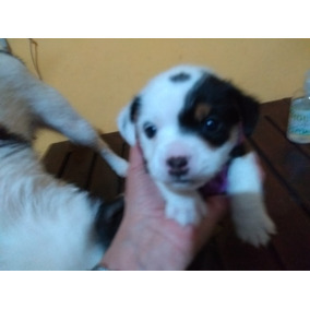 Cachorros Jack Russell !!