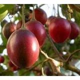 Tomate Del Arbol (tomatillo) Semillas Para Plantas