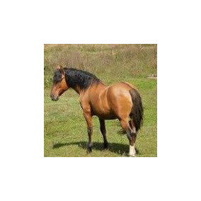 Cavalo Raça Crioula Garanhão Confirmado Com Dna