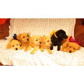 Hermosos Cachorritos Labrador Paja, Miel, Negro Raza Pura