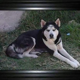 Hermosos Husky Siberiano