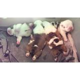 Expectaculares Cachorros Bulldog Ingles Con Pedigree