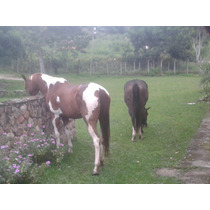 Egua Paint Horse Po. Registrada. Matriz