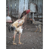 Ovos Galados De Indio Gigante - Compre 12 Ovos Leve 15