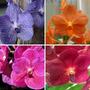 Kit 4 Mudas Orquídeas Vandas Pré Adulta Porte Pequeno 10cm