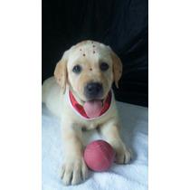 Labrador Femea Linda Caramelo