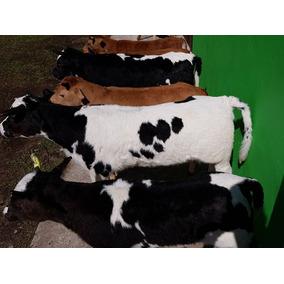 Boizinho Empalhado / Vaca Parada / Corda Chumbada Grátis