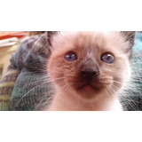 Gato Siamés Thai De 1 Año 2 Meses Busca Gatita Para Touch&go