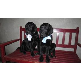 Hermosos Cachorritos Labrador Color Negro Raza Pura Entrega