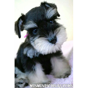 Excelente Cachorro Schnauzer Miniatura Negro Y Plata Hembra