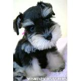 Excelente Cachorro Schnauzer Miniatura Negro Y Plata Hembrit