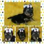 Lindas Fêmeas De Yorkshire Terrier