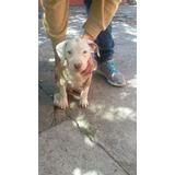 Se Venden O Se Cambian Hermosos Cachorros Pitbull
