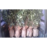 Jazmin Del Cabo 1,20 Mts Listo Para Plantar!!!!!!!!!!