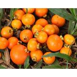 4 Mudas Gabiroba-campomanesia Xanthocarpa-frutas-pesca