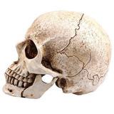 Craneo Humano De Resina Con Mandibula Articulada H4082