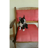 Cachorro Boston Terrier Macho Disponible