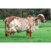 Lactotex Plus Nucleo Para Vaca Leiteira