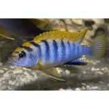 Peces Labidochromis Hongi Kimpuma