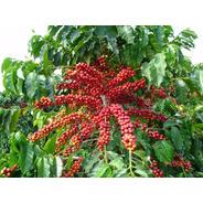 Sementes 250 De Café Mundo Novo Iac 379-19 Pronta P/ Plantio