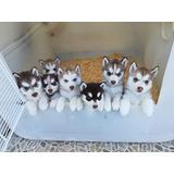 Cachorros Huzkys Con Opcion A Pedigre