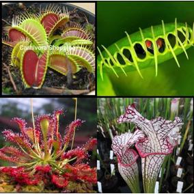 Exótica Sementes Plantas Carnívoras 100% Original Ornamental