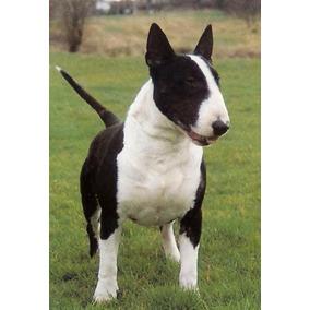 Bull Terrier Únicos