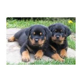 Cachorros Rottweiler La Mejor Reputacion 6cuotas S/ Interes
