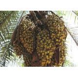 15 (quinze) Mudas De Palmeira Macaiba 20 A 30cm