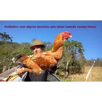 Ovos Galados Índio Gigante Do Sul De Minas