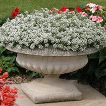 Alyssum Branco Sementes Flor Para Mudas