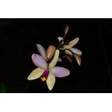 Orquídea Laelia Briegeri X Cattleya Violacea
