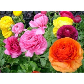 10 Sementes De Lindas Flores Peônia Várias Cores P/mudas****
