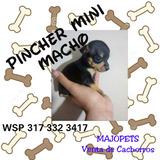 Cachorro Pincher Mini