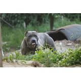 American Pit Bull Terrier, Os Melhores Do Brasil, Macho.