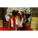 Cachorros Afgano