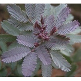 Planta Acacia Baileyana Rubra 4lts
