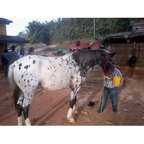 Cavalo Apaloosa Marchador