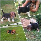 Cachorros Beagle 13