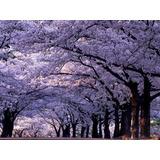 Árvore Imperatriz Paulownia - Sementes Para Mudas E Bonsai