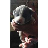 Pitbull Blue Cachorros Únicos Garantizados