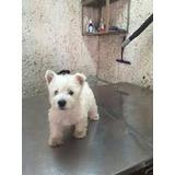Cachorros West Highland Terrier