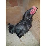 Pollos Asiles Puros S/800