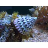 Caracoles Turbo Para Marinos Y Reefs