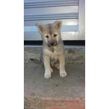 Akita Inu Japones Puro Garantizados Cachorros Vendo Hermoso