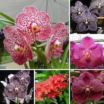 Kit 6 Lindas Mudas Orquídeas Vanda Pré Adulta