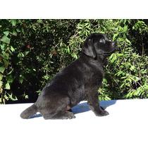 Cachorra Labardor Negra, Papeles Fca, Muy Buena Estructura
