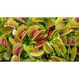 Dionaea Plantas Carnívoras Venus Atrapamosca 10x450